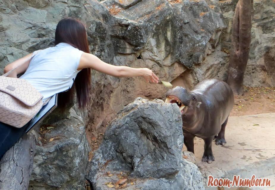 кормление бегемота
