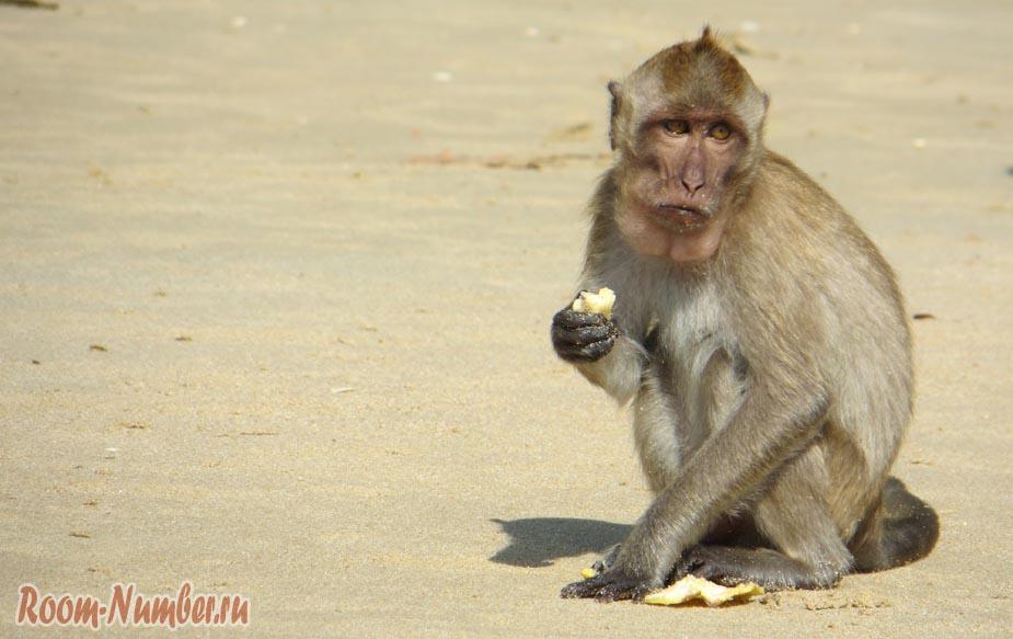 обезьяна на пляже Ао Нанг бич в Краби