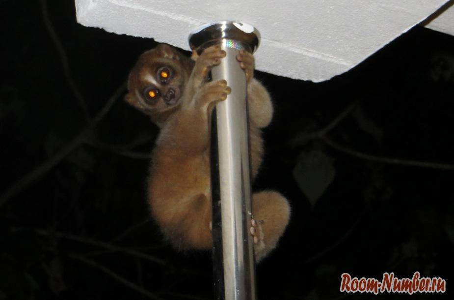 dikij-lemur-002