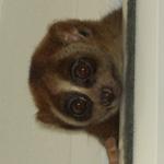 dikij-lemur-006