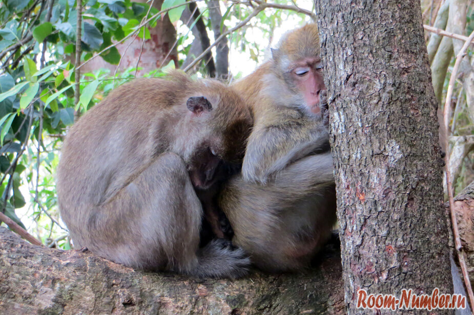спящие обезьяны