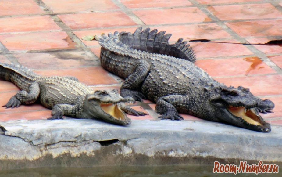 аллигаторы с открытыми пастями