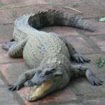 krokodilova-ferma-vo-vietname-8