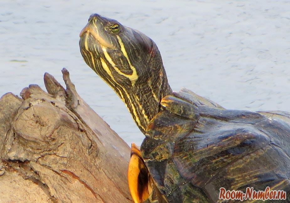 черепаха в пруду