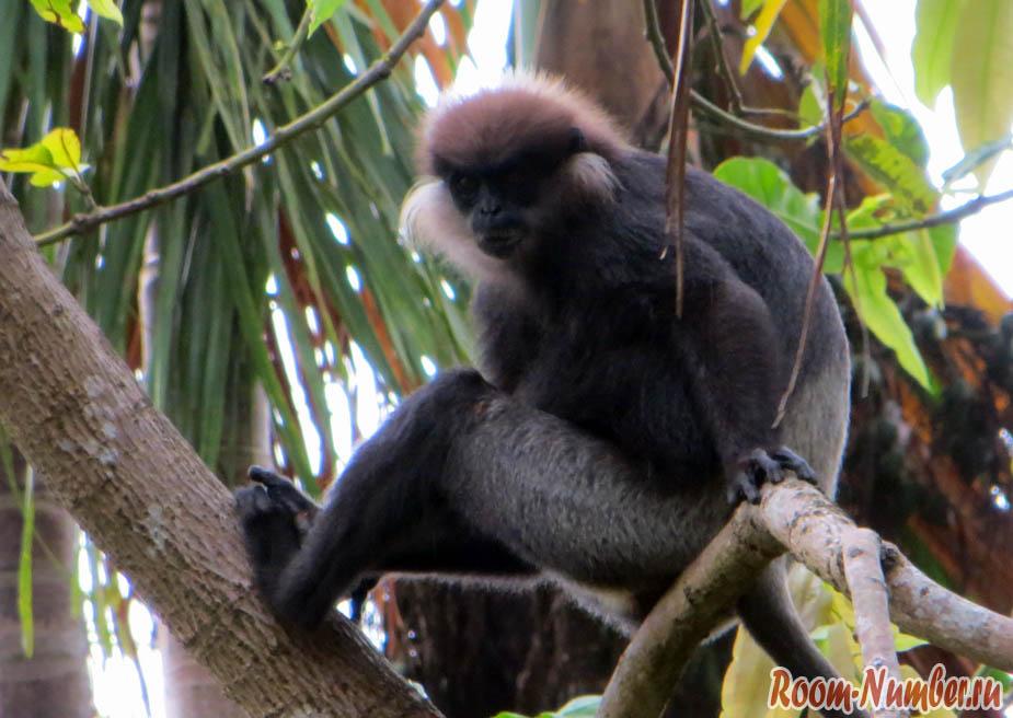 Пурпурнолицые лангуры — большие черные обезьяны на Шри Ланке. Фото и видео