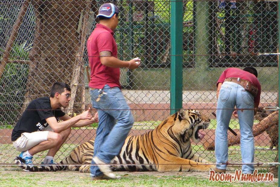 korolevstvo-tigrov-na-phukete-15