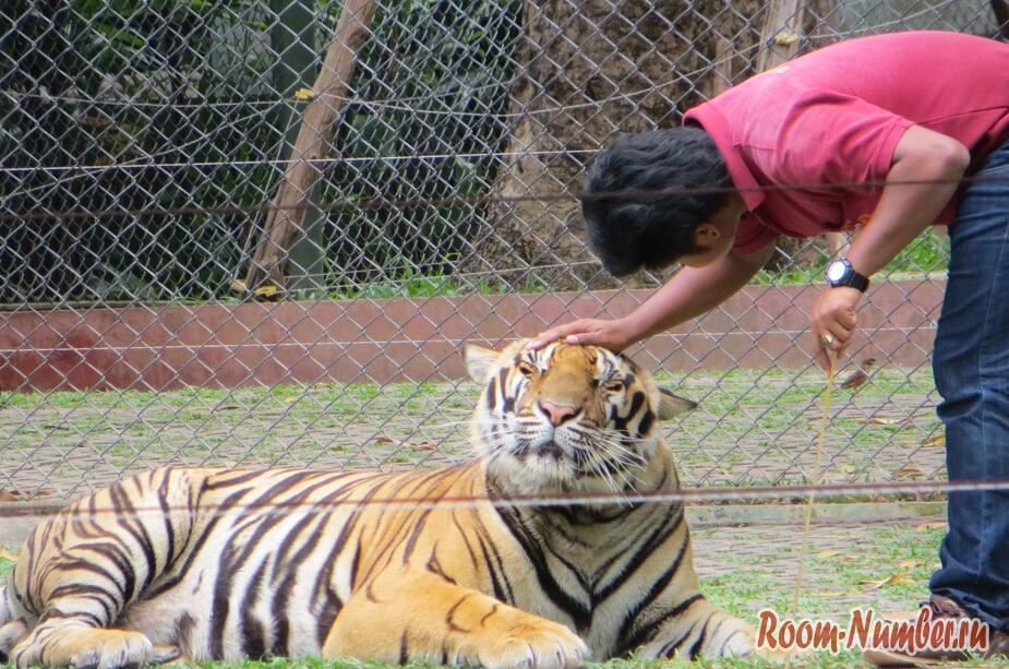 korolevstvo-tigrov-na-phukete-16