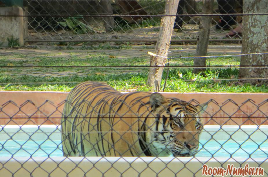 korolevstvo-tigrov-na-phukete-19