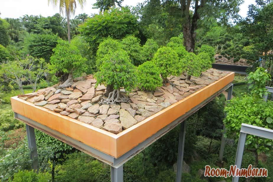 нонг нуч фото деревьев декоративных с толстыми корнями