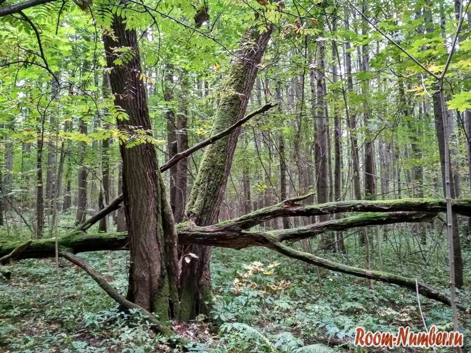 упавшее дерево в лесу