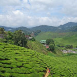 cameron-highlands-150
